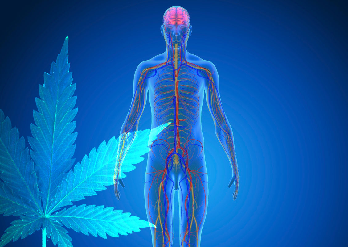 what CBD does for the human body
